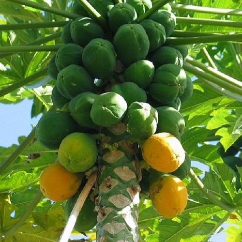 papaya-500